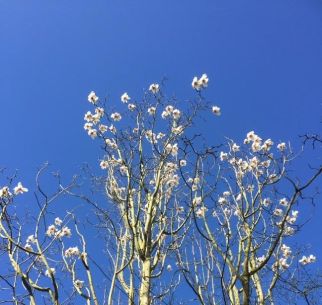 magnolia march calderstones