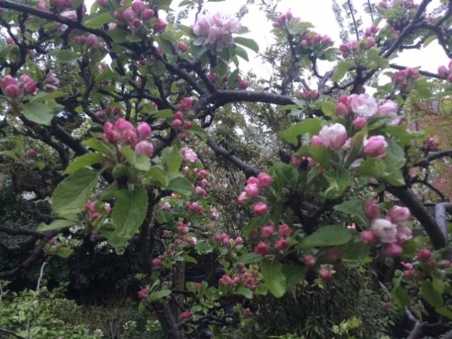 apple n cherry blossom .JPG