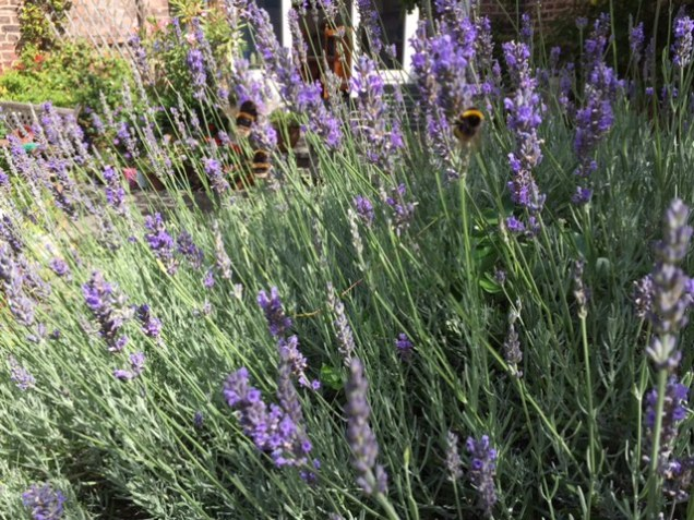 bees in lavender.JPG