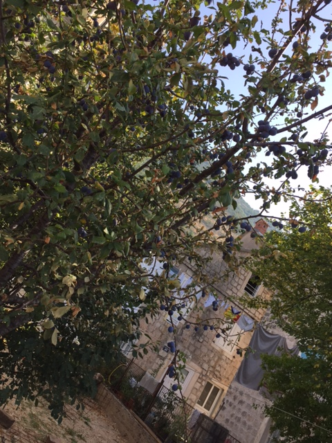 damson tree.JPG