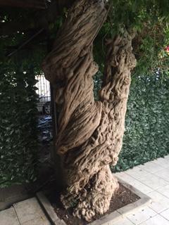 wisteria trunk.JPG