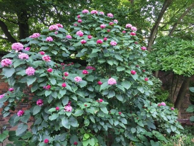pink shrub.JPG