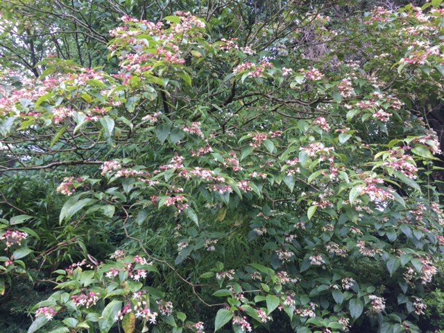 tree in flower.JPG