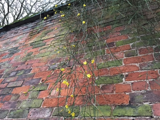 Winter Jasmine climbing overthe courtyard wall at Calderstones during a hailstorm.JPG