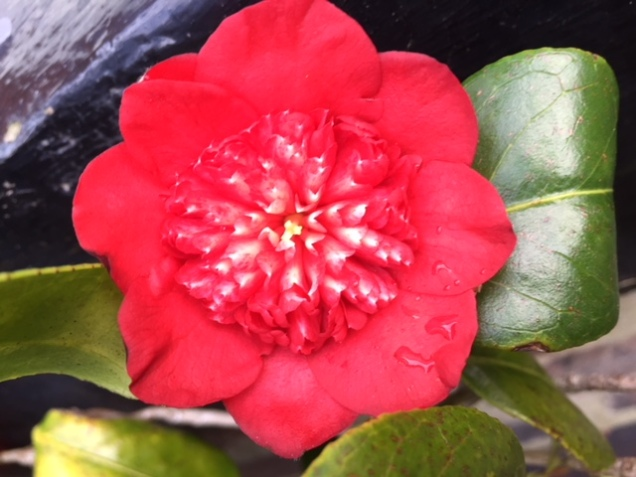 camellia 18 feb 1.JPG