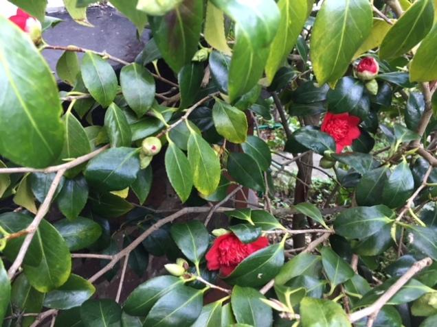 camellia 18 feb 2.JPG