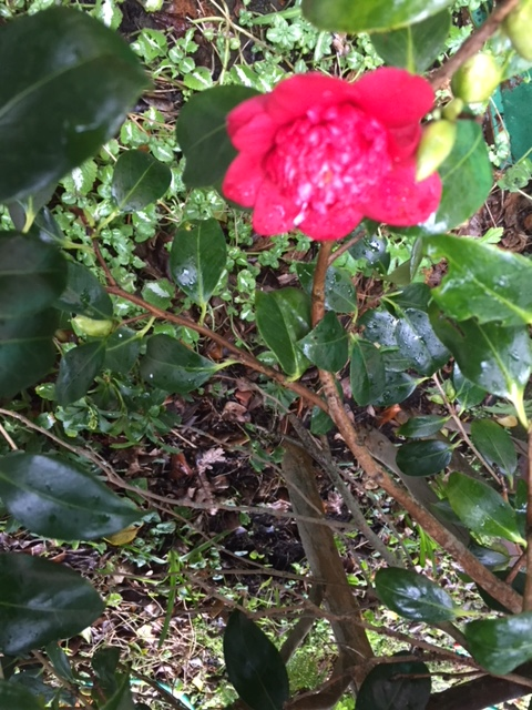first red camellia of the year 2 feb 2018.JPG