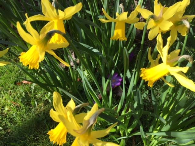 daffodils 25 march