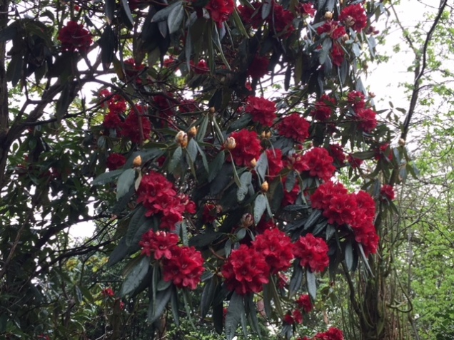 dark red rhodos