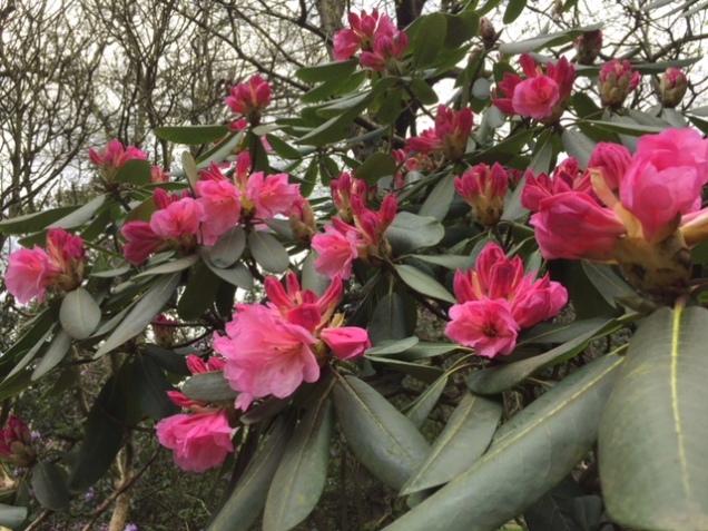 pink rhodo