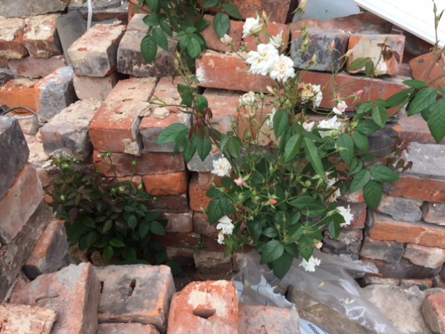 roses and bricks.JPG